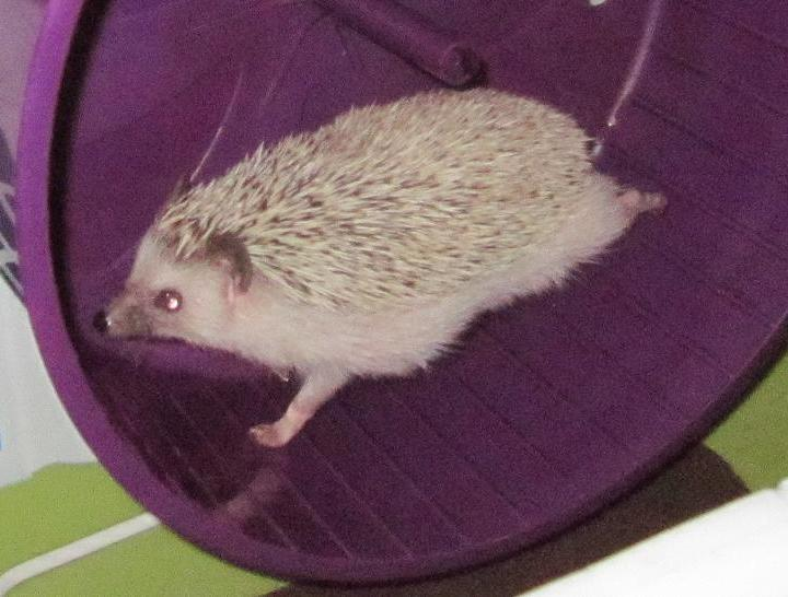 Hedgehogs are marathon runners.